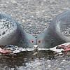 pigeons : pigeons, rock doves